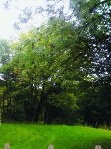 frêne sur Ambléon