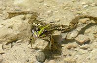 grenouille balladetvous