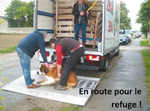 Transport des 3 Saint Bernard