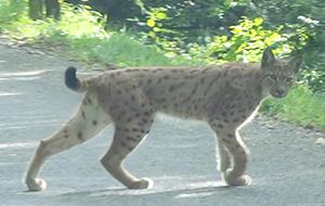 Le Lynx ballad et vous