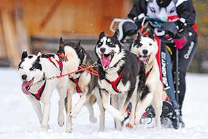 Championnat de France de chiens de traineau 2 ballad et vous © Verdy